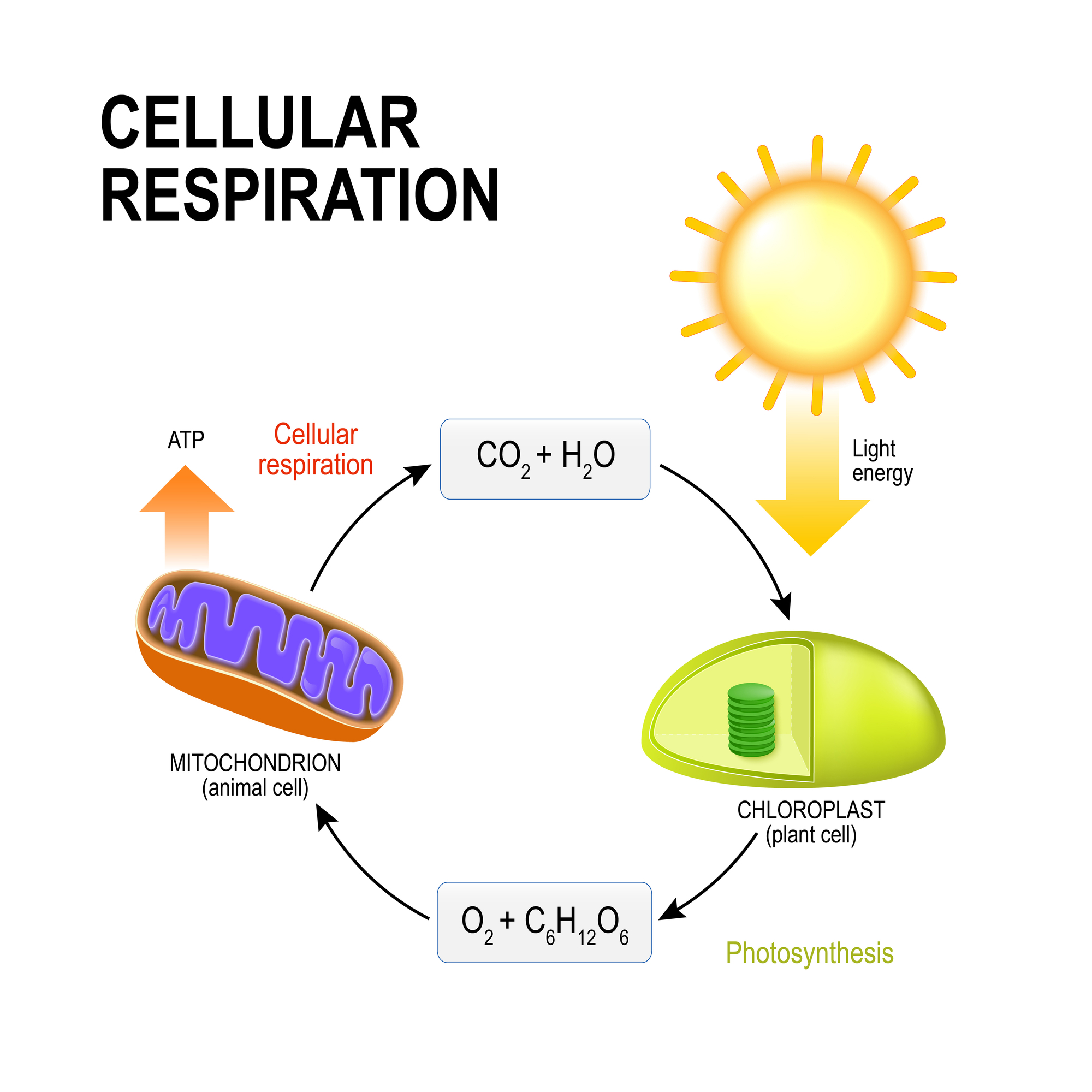 Veritas Press In The Classroom The Cellular Respiration Story By