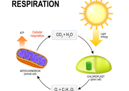 In the Classroom: The Cellular Respiration Story by Carley Thomas